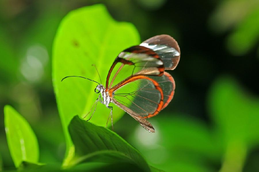 butterfly05 Greta oto   удивительная бабочка со стеклянными крыльями