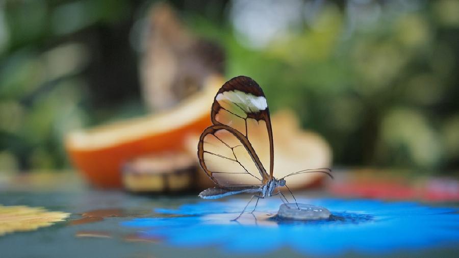 butterfly06 Greta oto   удивительная бабочка со стеклянными крыльями