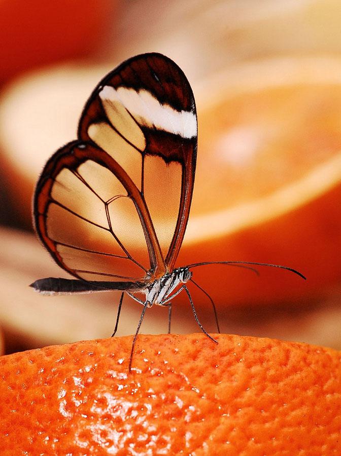 butterfly07 Greta oto   удивительная бабочка со стеклянными крыльями