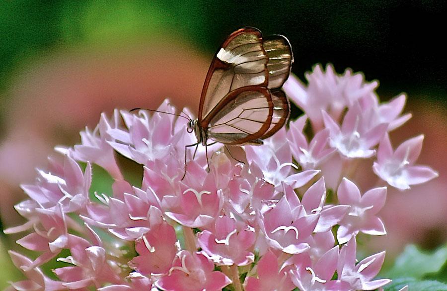 butterfly08 Greta oto   удивительная бабочка со стеклянными крыльями