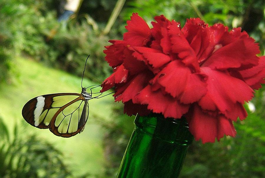butterfly09 Greta oto   удивительная бабочка со стеклянными крыльями