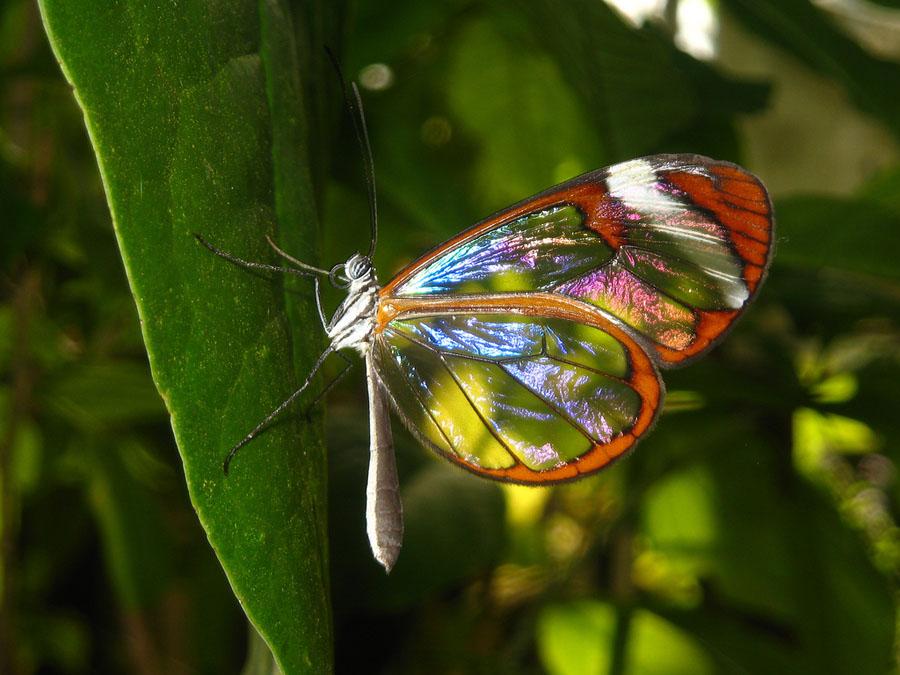 butterfly10 Greta oto   удивительная бабочка со стеклянными крыльями