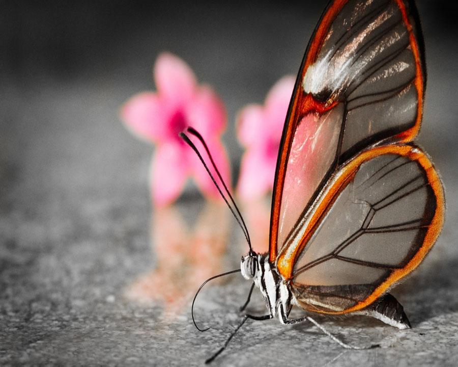 butterfly11 Greta oto   удивительная бабочка со стеклянными крыльями