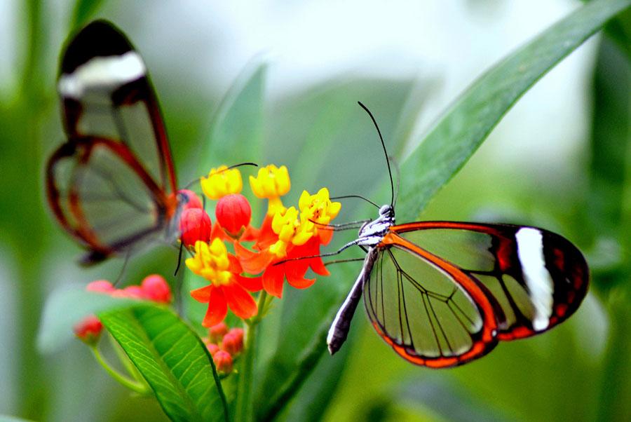 butterfly12 Greta oto   удивительная бабочка со стеклянными крыльями
