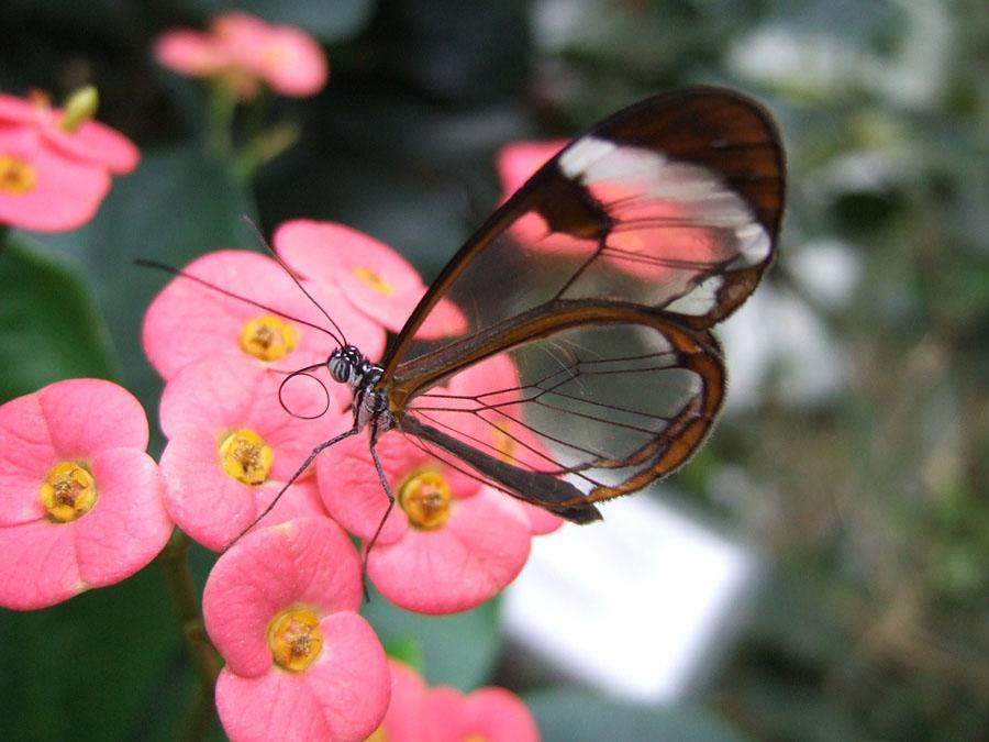 butterfly13 Greta oto   удивительная бабочка со стеклянными крыльями