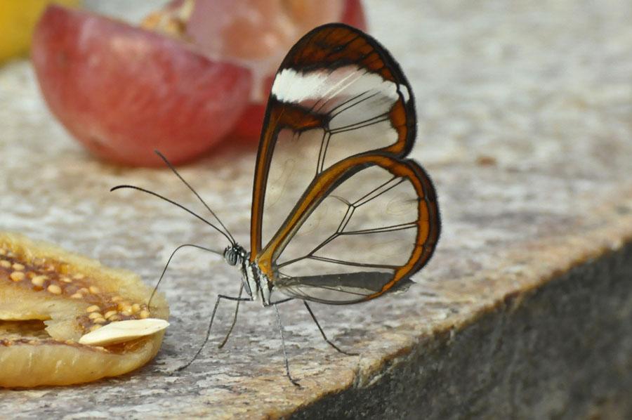butterfly14 Greta oto   удивительная бабочка со стеклянными крыльями