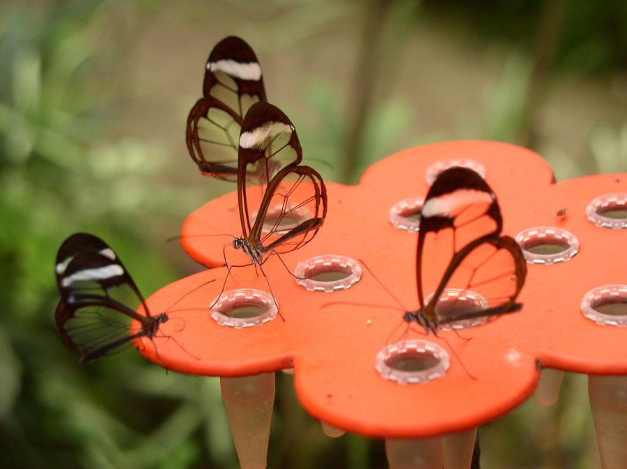 butterfly15 Greta oto   удивительная бабочка со стеклянными крыльями