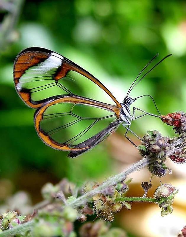 butterfly16 Greta oto   удивительная бабочка со стеклянными крыльями