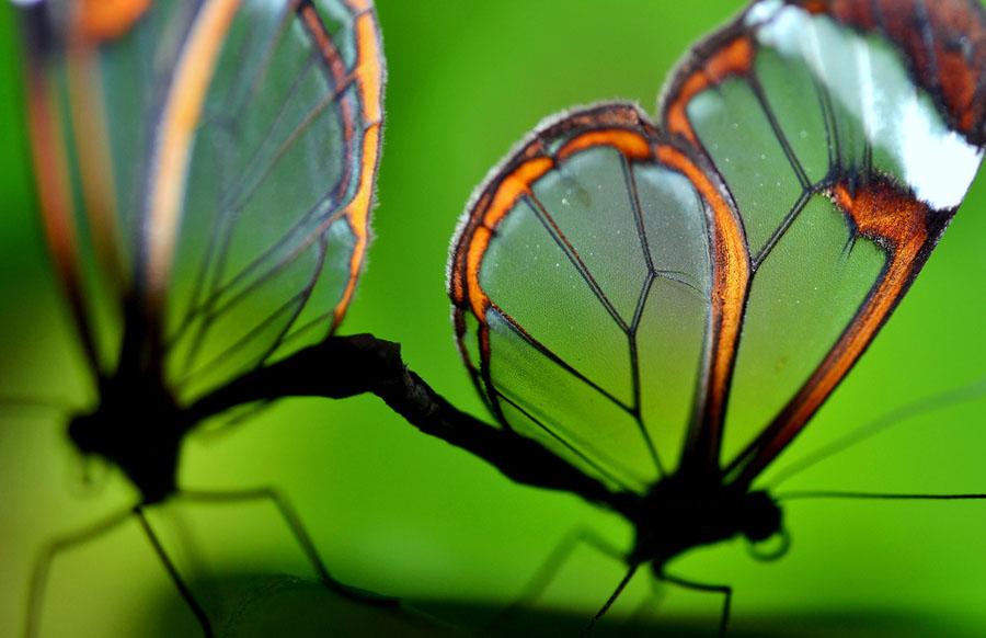 butterfly17 Greta oto   удивительная бабочка со стеклянными крыльями