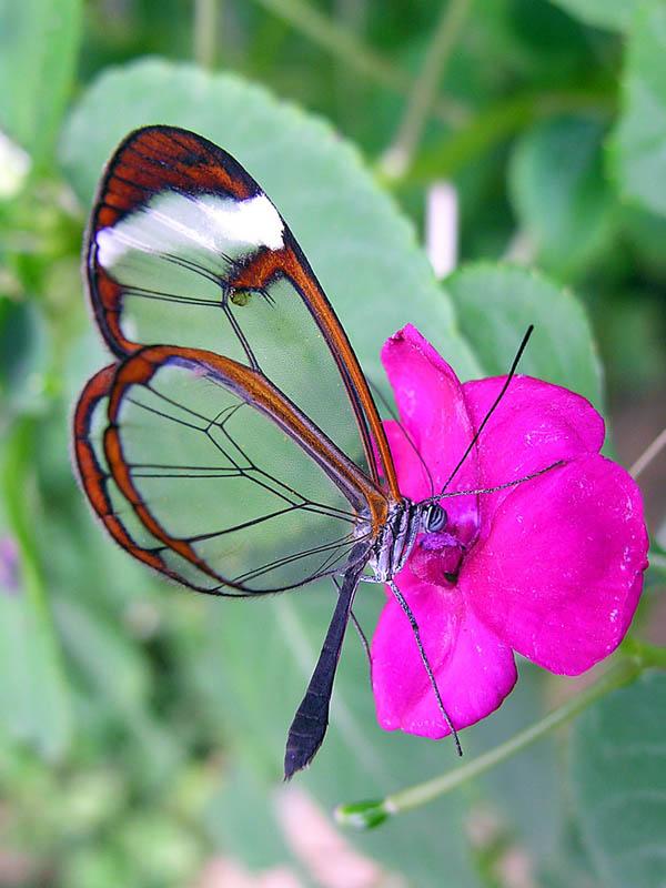 butterfly18 Greta oto   удивительная бабочка со стеклянными крыльями