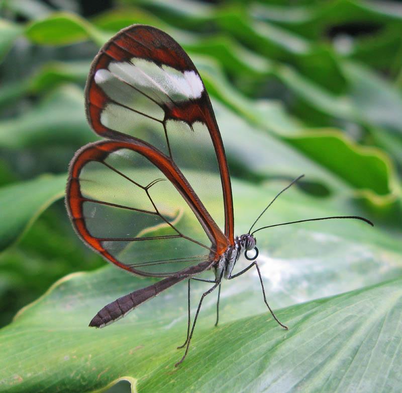 butterfly19 Greta oto   удивительная бабочка со стеклянными крыльями