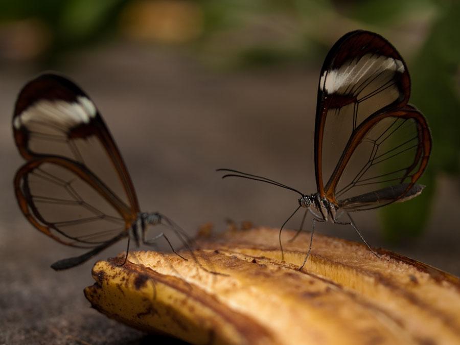 butterfly21 Greta oto   удивительная бабочка со стеклянными крыльями
