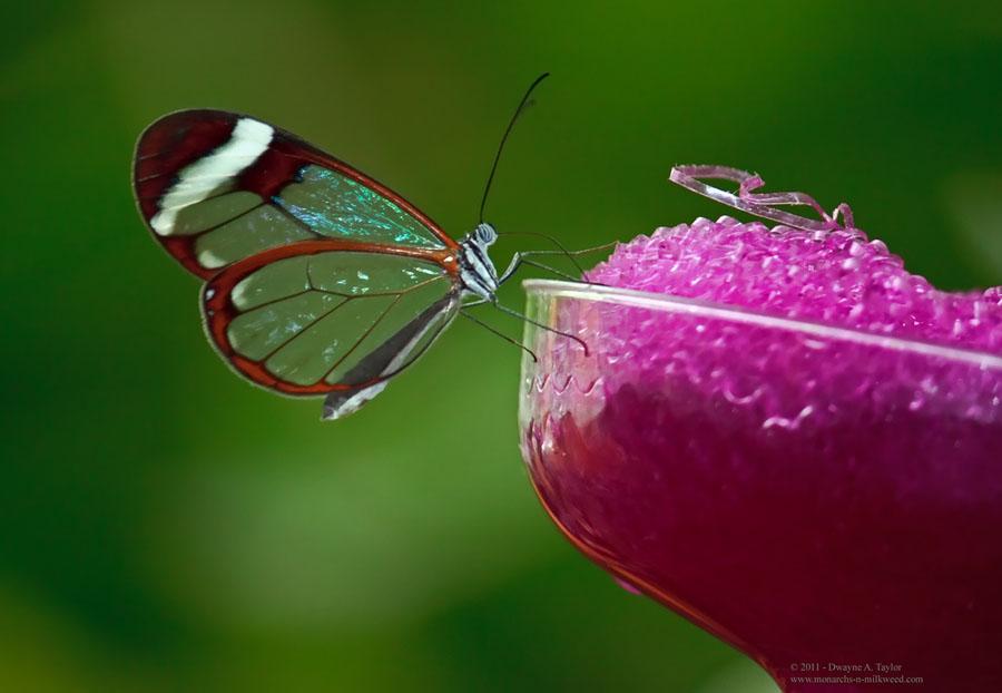 butterfly22 Greta oto   удивительная бабочка со стеклянными крыльями