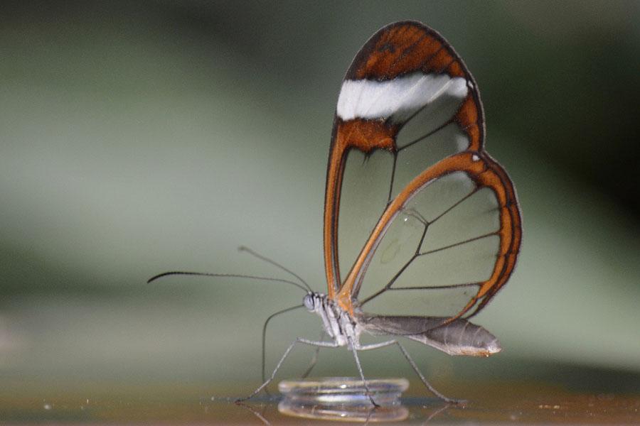 butterfly24 Greta oto   удивительная бабочка со стеклянными крыльями