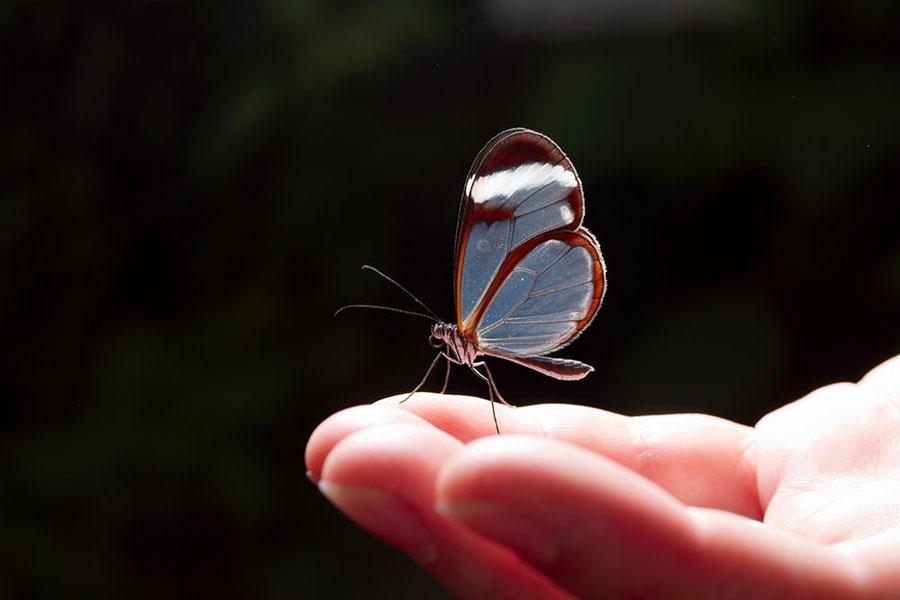 butterfly25 Greta oto   удивительная бабочка со стеклянными крыльями