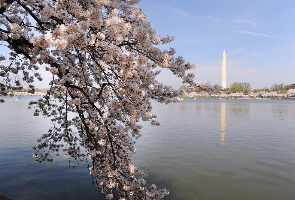 cherry e Фестиваль цветения сакуры вВашингтоне 2012