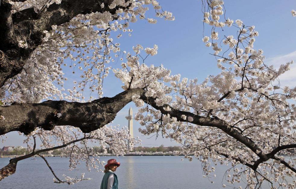 cherry f Фестиваль цветения сакуры вВашингтоне 2012
