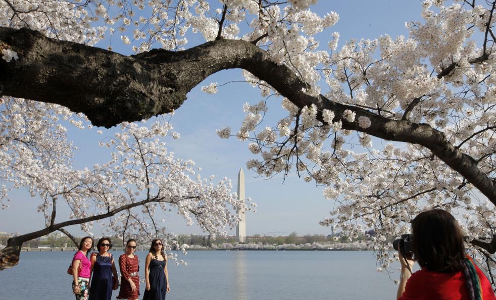 cherry g Фестиваль цветения сакуры вВашингтоне 2012
