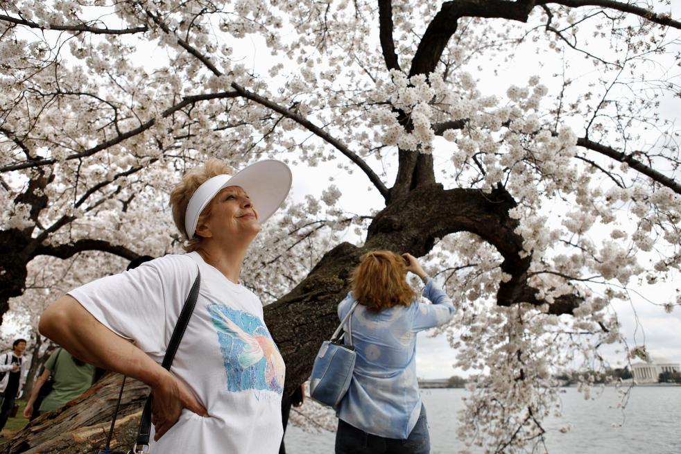 cherry h Фестиваль цветения сакуры вВашингтоне 2012