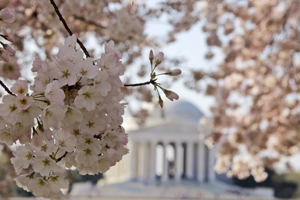 cherry j Фестиваль цветения сакуры в Вашингтоне 2012