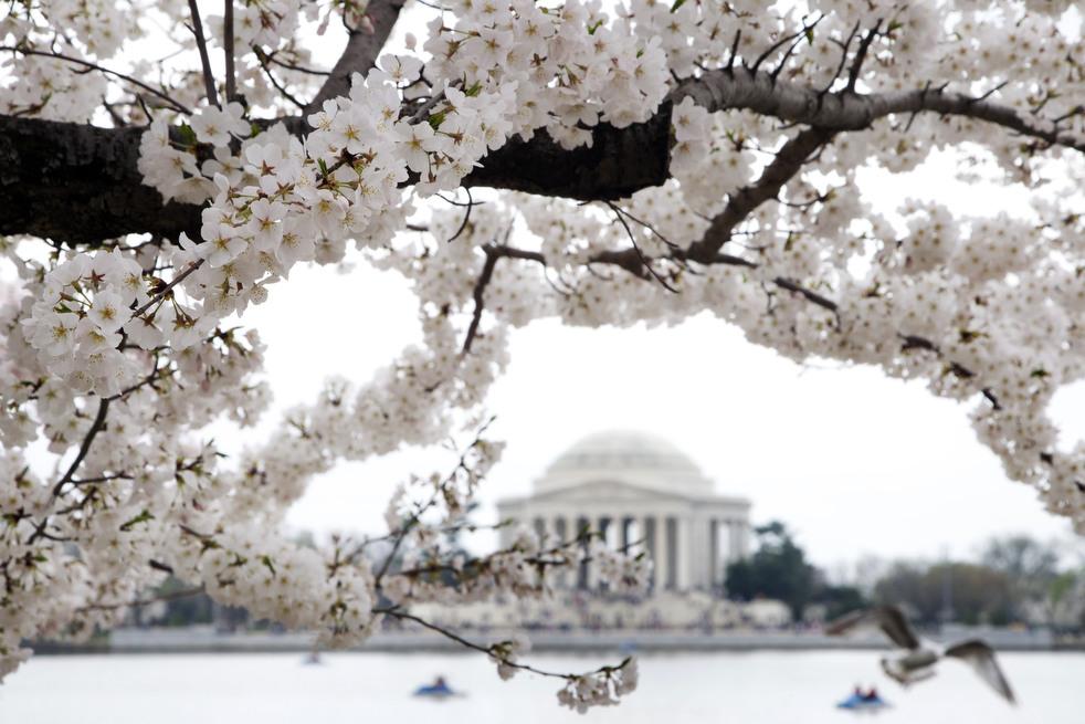 cherry k Фестиваль цветения сакуры в Вашингтоне 2012