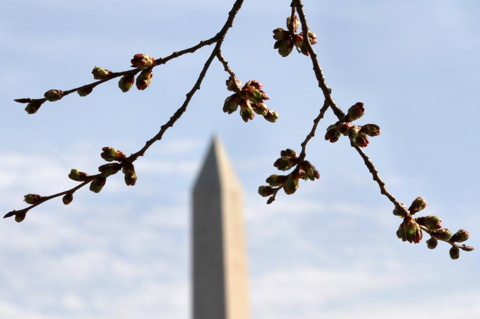 cherry l Фестиваль цветения сакуры в Вашингтоне 2012