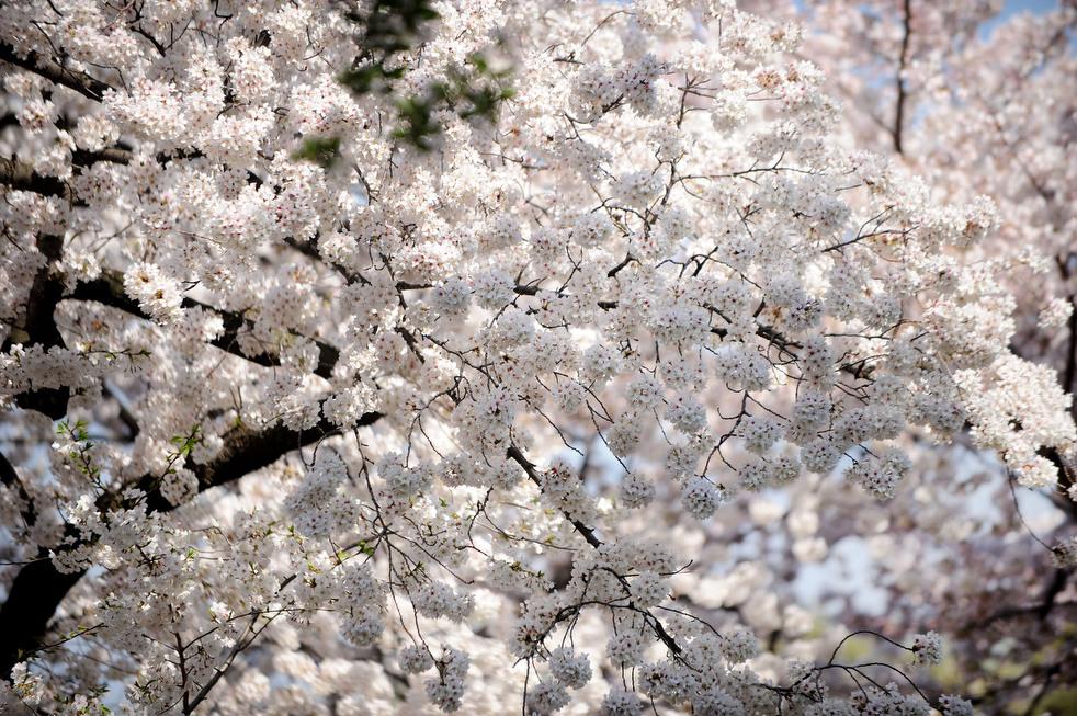 cherry n Фестиваль цветения сакуры в Вашингтоне 2012