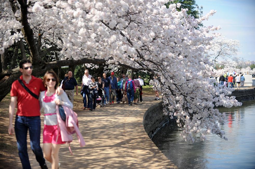cherry o Фестиваль цветения сакуры в Вашингтоне 2012