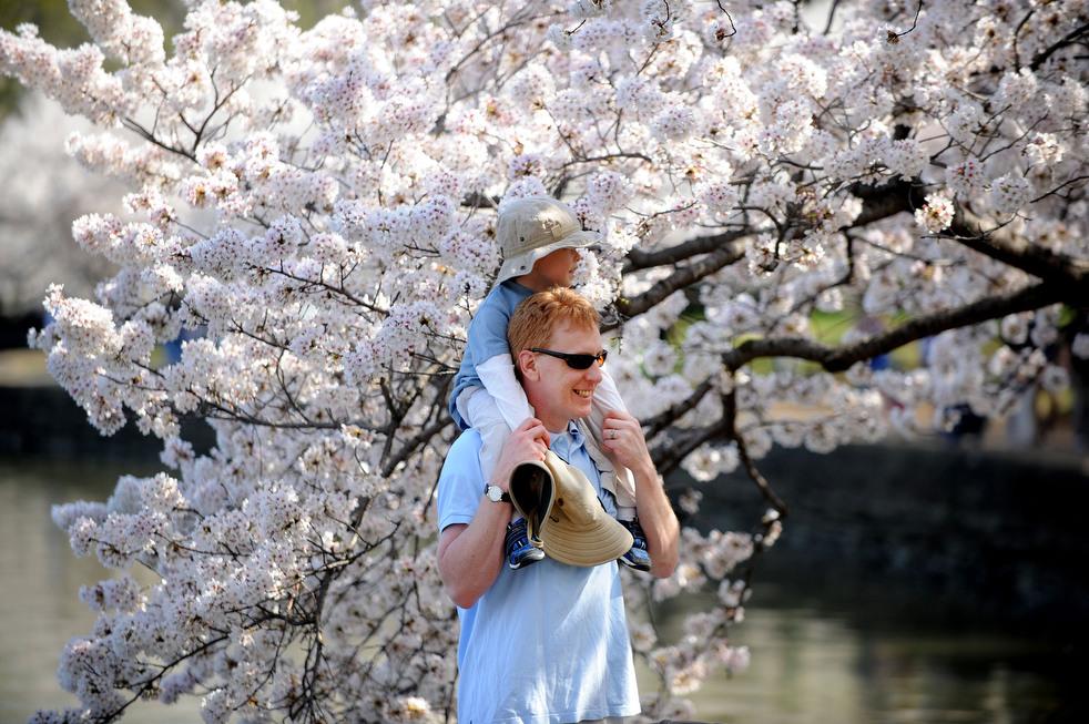 cherry p Фестиваль цветения сакуры вВашингтоне 2012