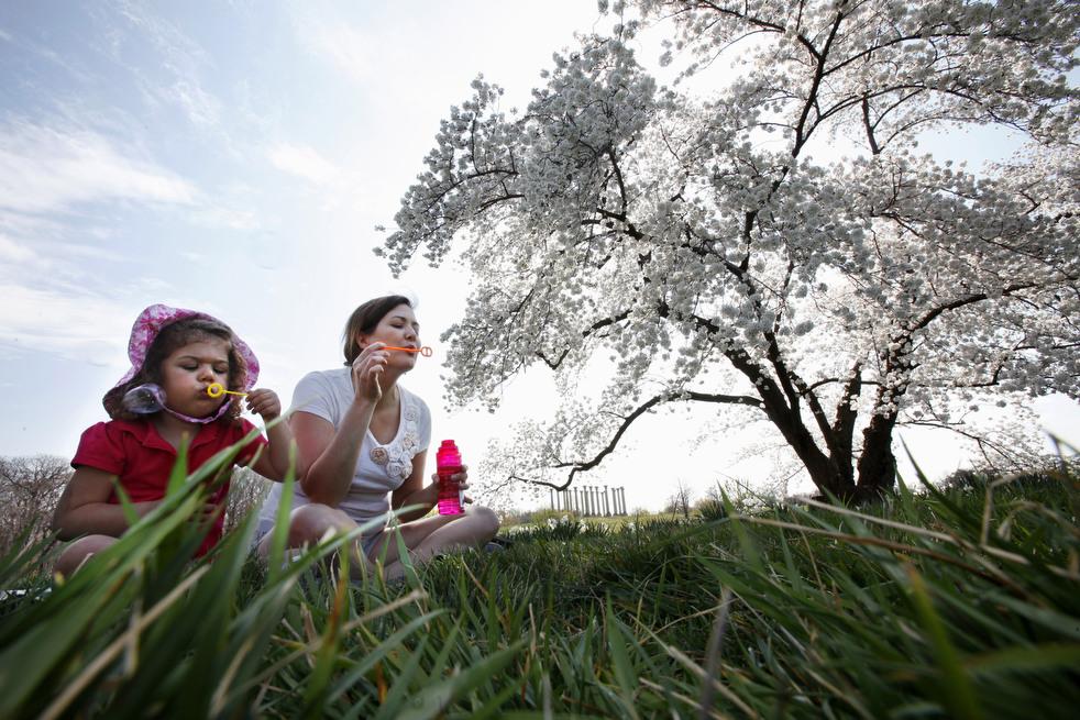 cherry q Фестиваль цветения сакуры вВашингтоне 2012