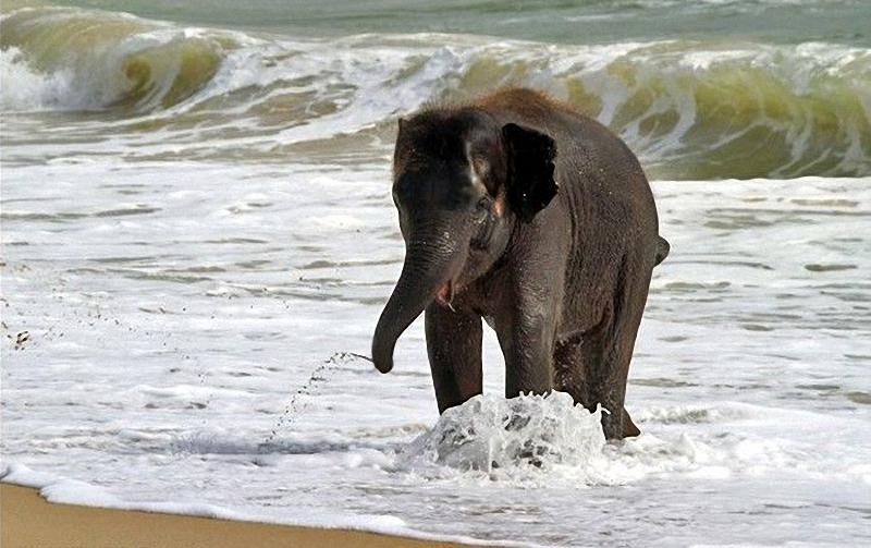 elephant swim 01 Слонёнок на пляже