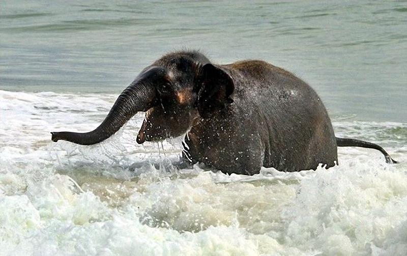 elephant swim 02 Слонёнок на пляже