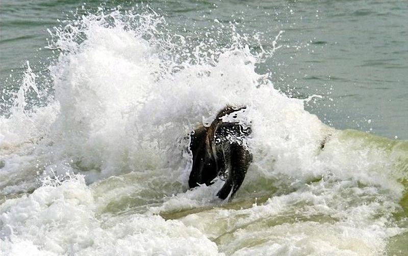 elephant swim 03 Слонёнок на пляже