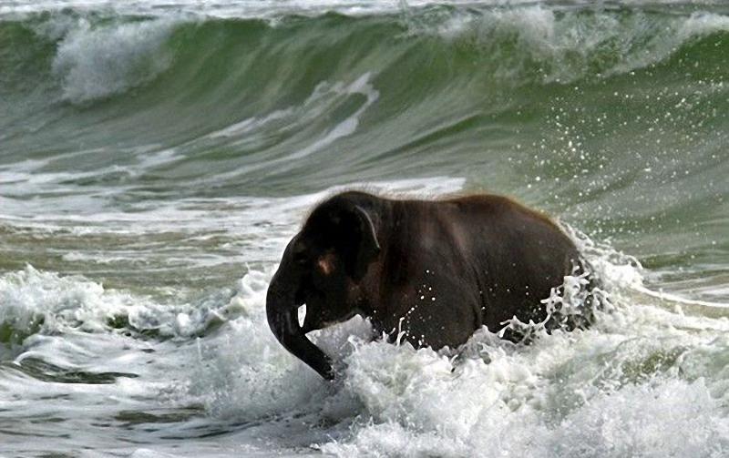 elephant swim 04 Слонёнок на пляже