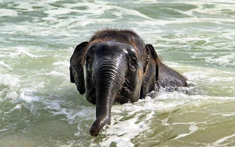 elephant swim 05 Слонёнок на пляже