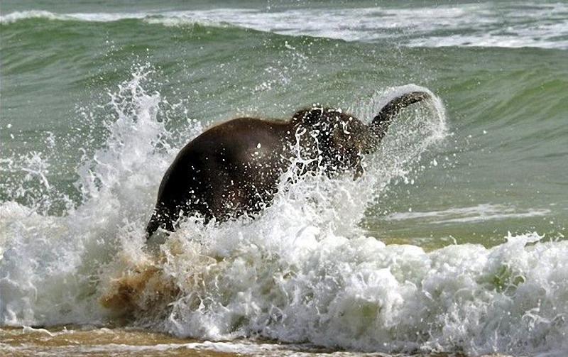 elephant swim 06 Слонёнок на пляже