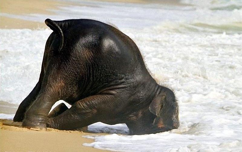 elephant swim 07 Слонёнок на пляже