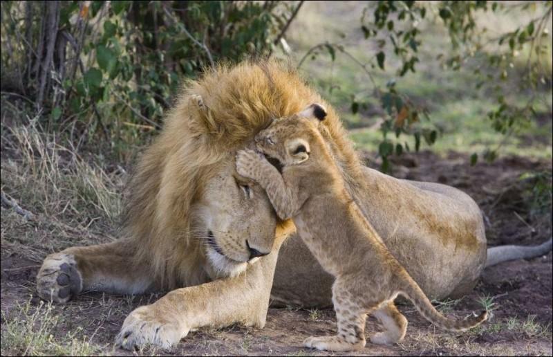 Первая встреча львенка сотцом