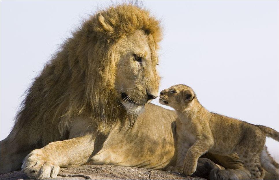 lion cub meeting his father 02 Первая встреча львенка с отцом