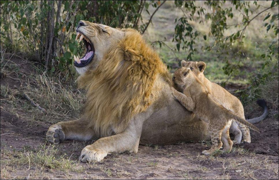 lion cub meeting his father 05 Первая встреча львенка с отцом
