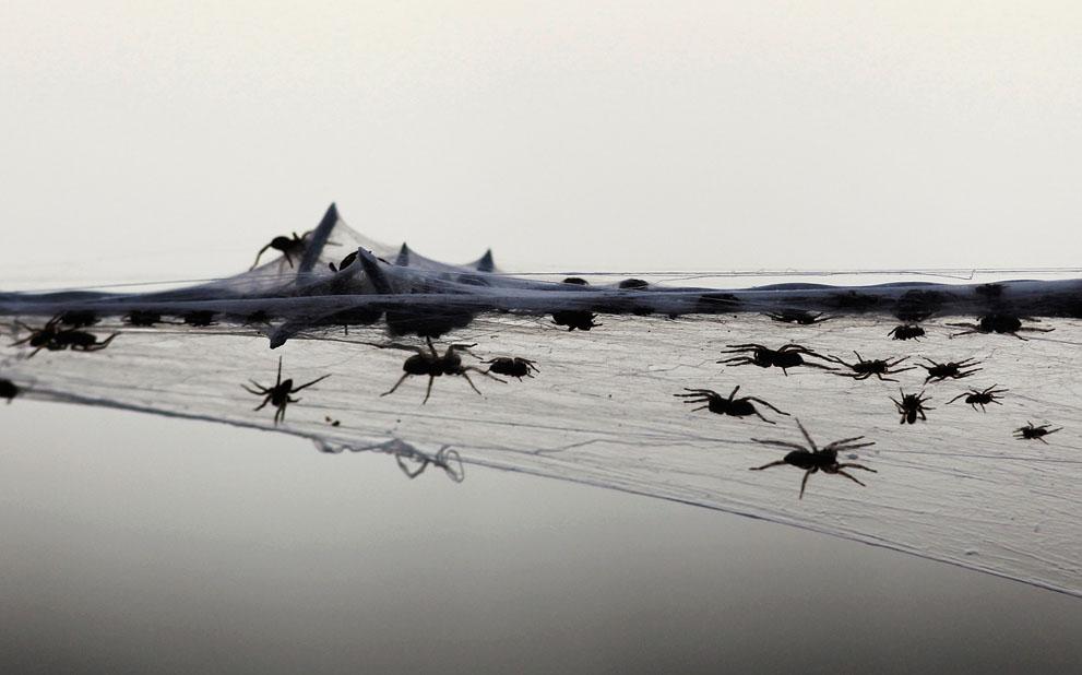 s w01 RTR2YY8D Пауки спасаются от наводнения в Австралии