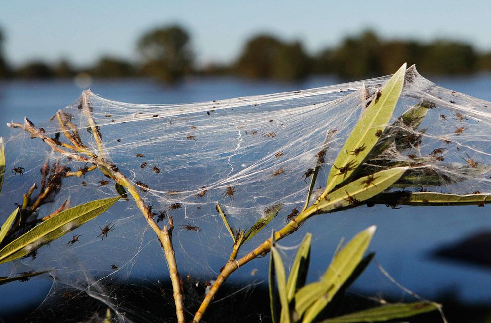 s w17 RTR2YY80 Пауки спасаются от наводнения в Австралии
