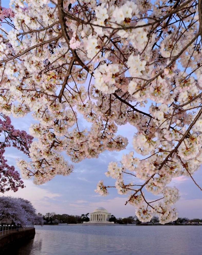 stars18 990x6931 Фестиваль цветения сакуры вВашингтоне 2012