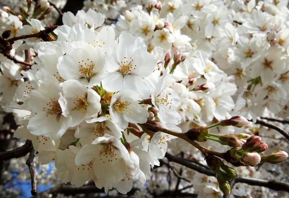 stars18 990x6932 Фестиваль цветения сакуры вВашингтоне 2012