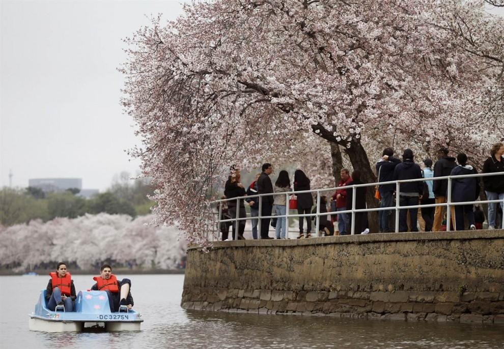 stars18 990x6933 Фестиваль цветения сакуры в Вашингтоне 2012