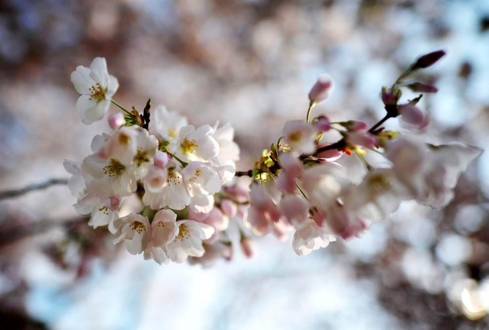 stars20 907x9901 Фестиваль цветения сакуры вВашингтоне 2012