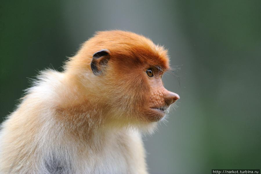 super.photo  Эмоциональные обезьяны носачи