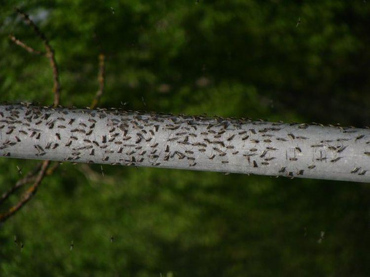 0 87622  Нашествие комаров на деревню в Беларуси