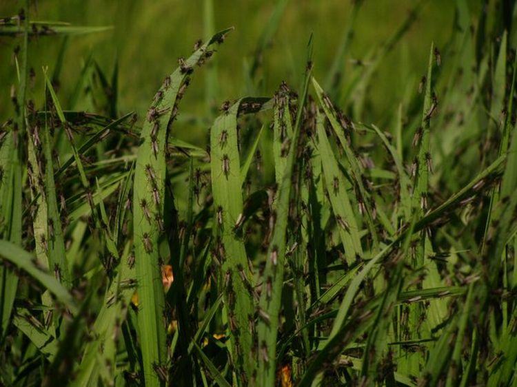 0 87626  Нашествие комаров на деревню в Беларуси