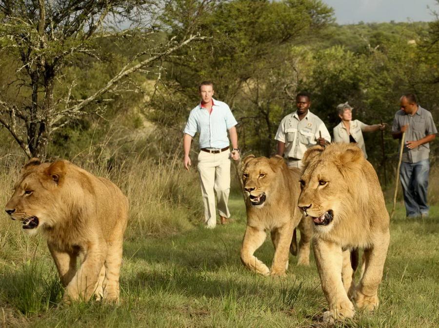 11173 Прогулка со львами